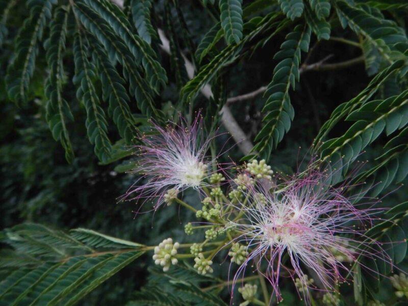 ネムノキに花