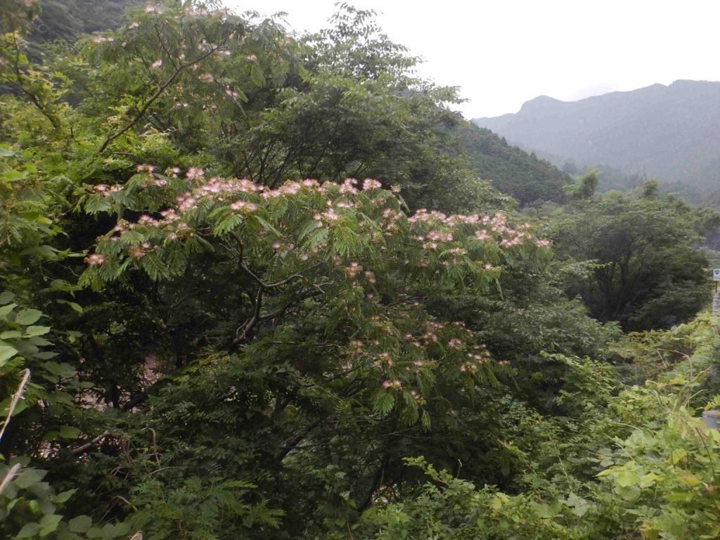 ネムノキに咲く花
