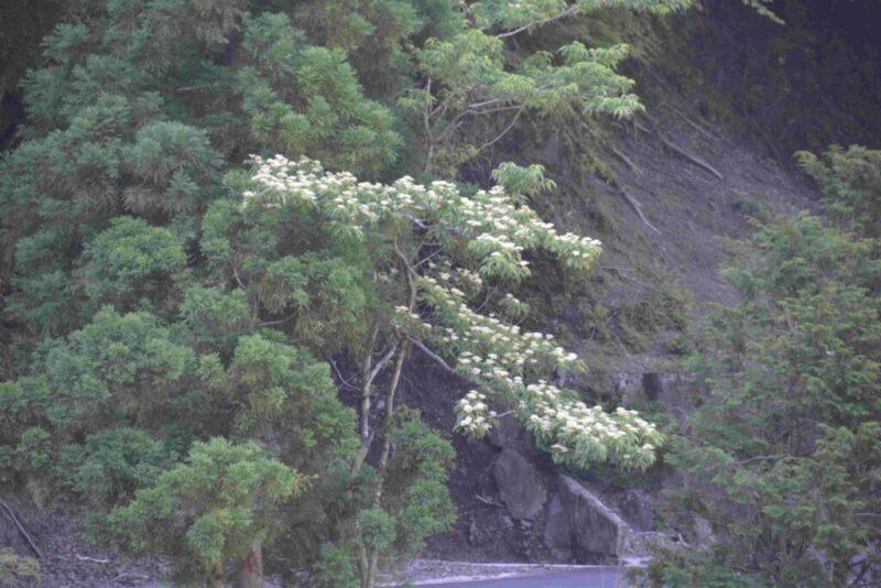 クマノミズキの花
