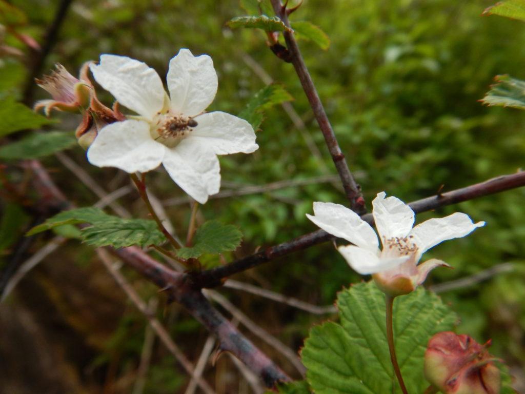 ニガイチゴの花(5月6日撮影)