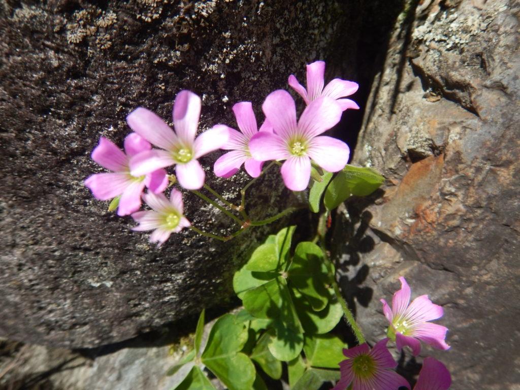 ムラサキカタバミの花