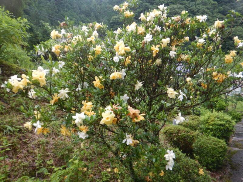たくさんの花がついたクチナシの樹