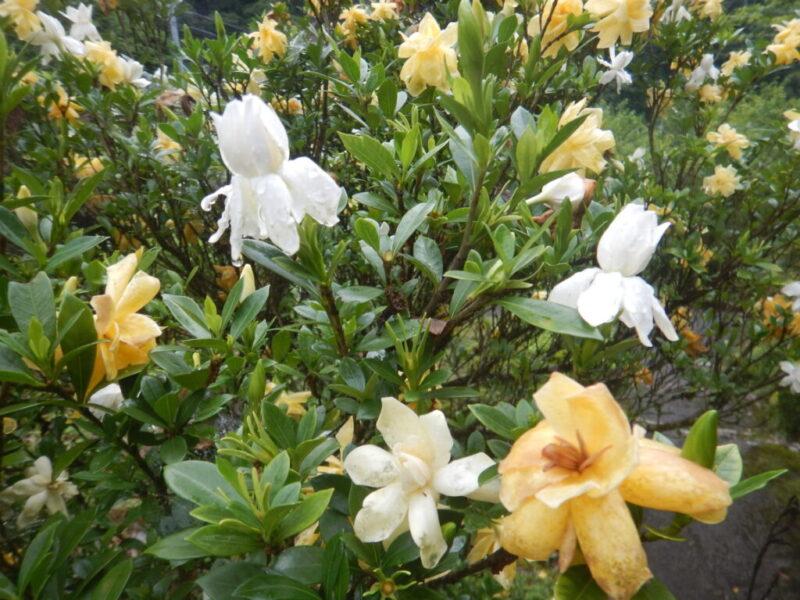 きれいな花が咲くクチナシ