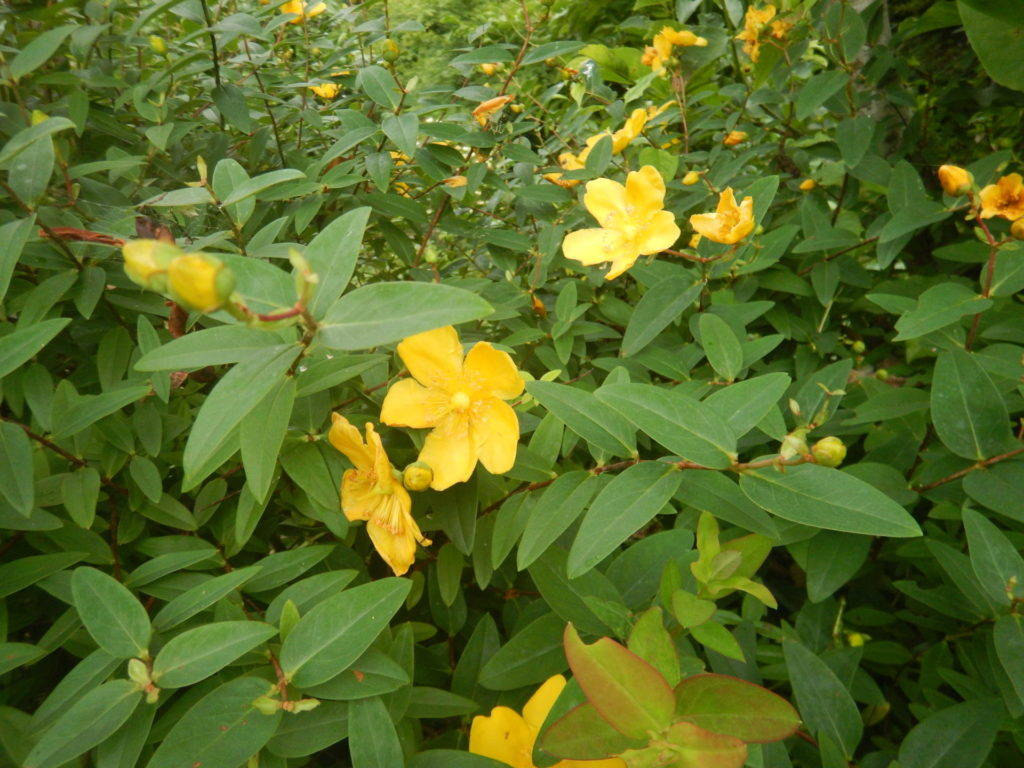 たくさん咲いた金糸梅