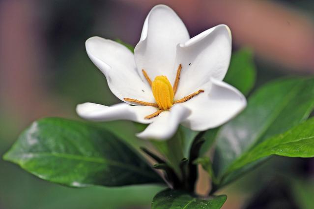 一重咲きのクチナシ