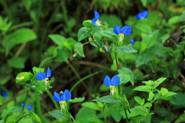 ツユクサの花々