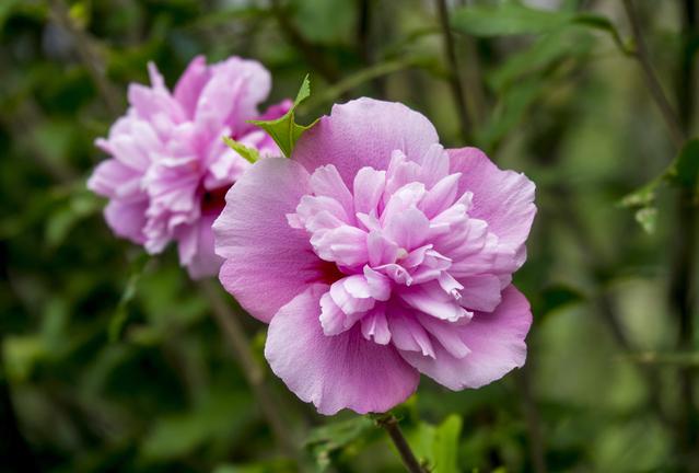 紫の八重咲のムクゲ