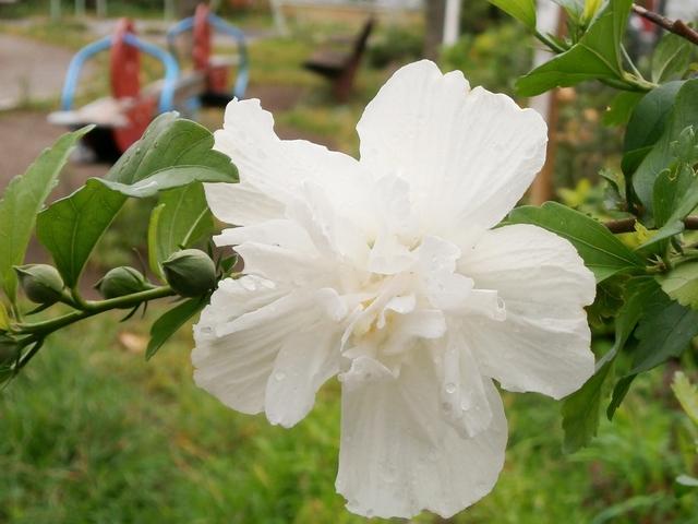 白い八重咲きのムクゲ