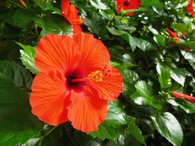 ハイビスカスの赤い花