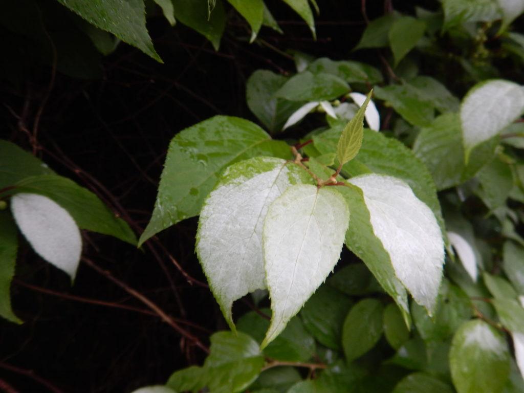マタタビの葉