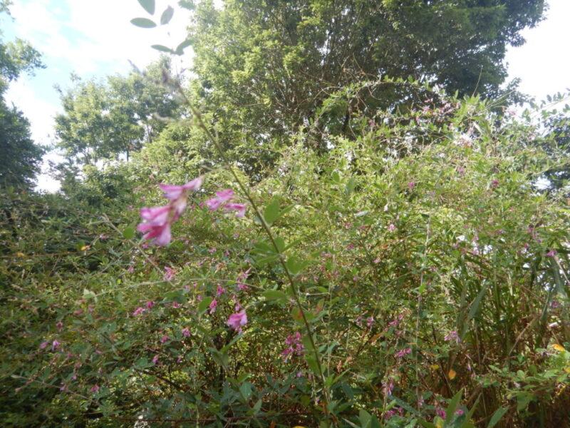 ハギ(萩)の樹と花