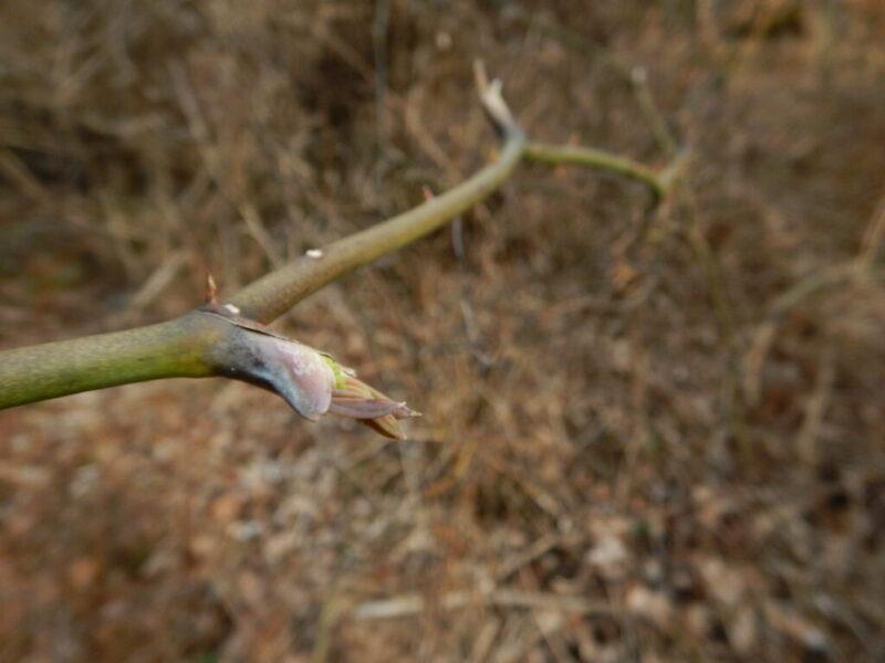 春先のサルトリイバラ(猿捕茨)(3月中旬)