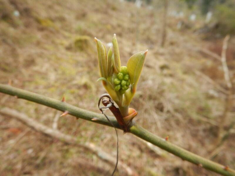 サルトリイバラ(猿捕茨)の新芽(4月初旬)