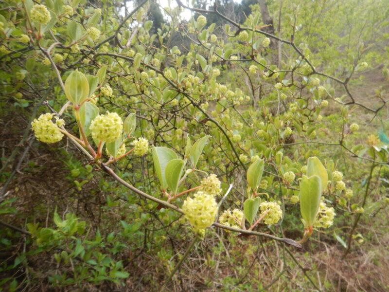 花が咲いたサルトリイバラ(猿捕茨)(4月中旬)