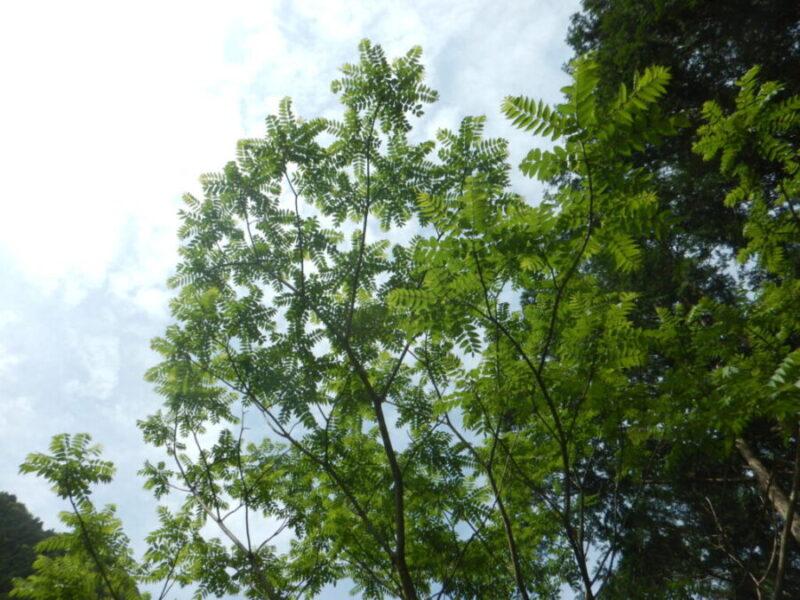 カラスザンショウの樹