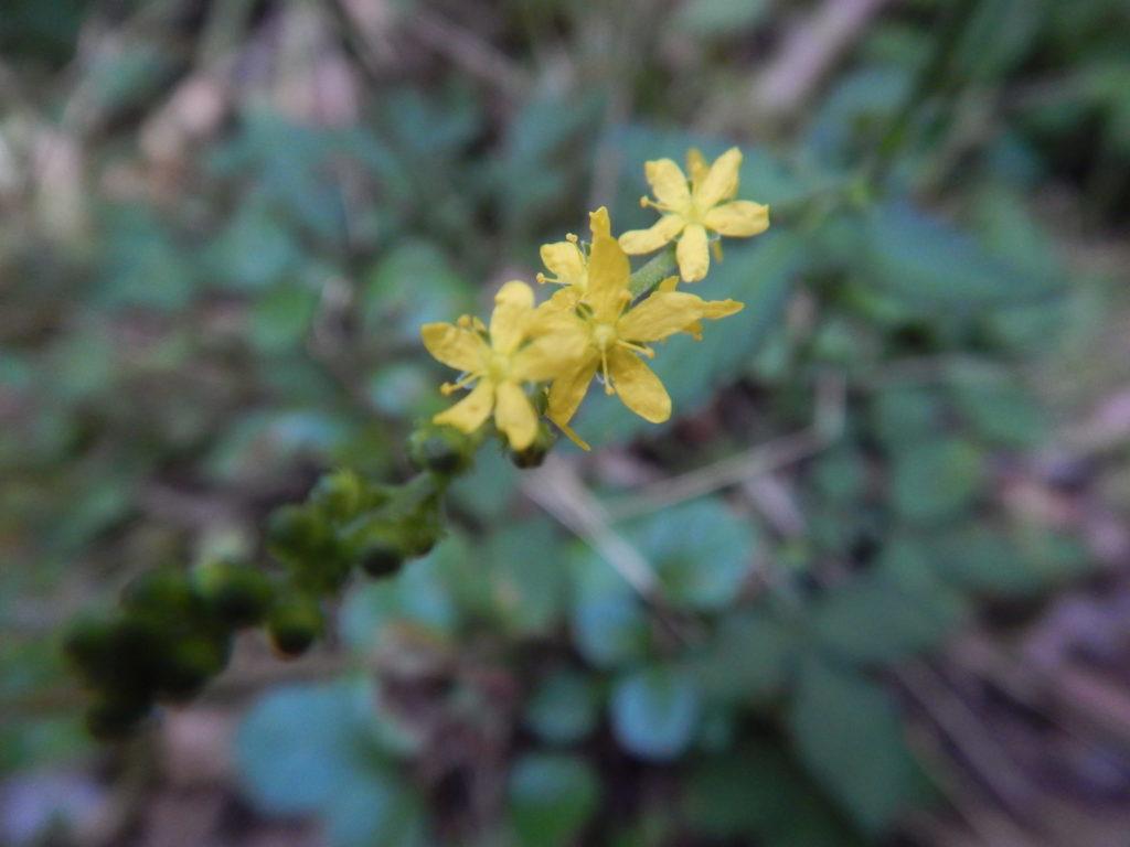 姫金水引(ヒメキンミズヒキ)の花