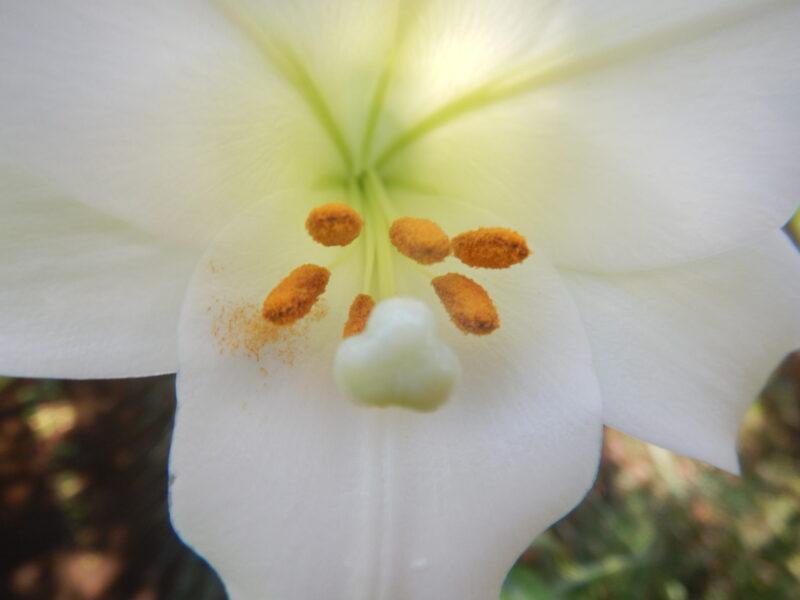 タカサゴユリ(高砂百合)の花