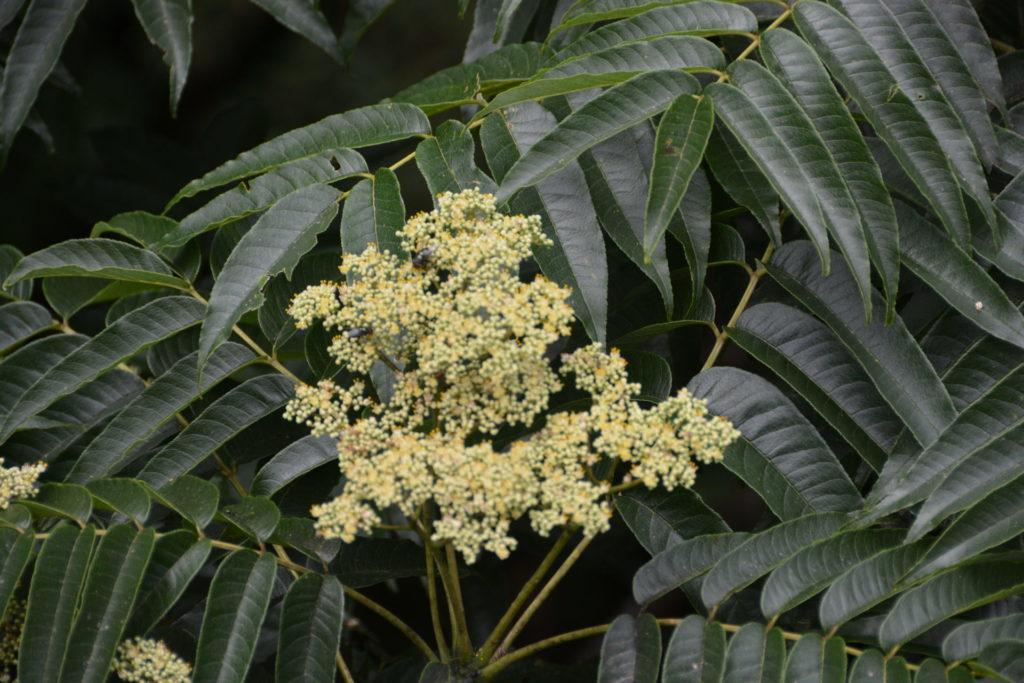 カラスザンショウの花