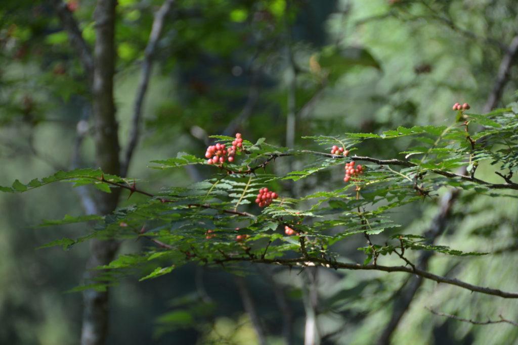 8月初旬のサンショウの樹