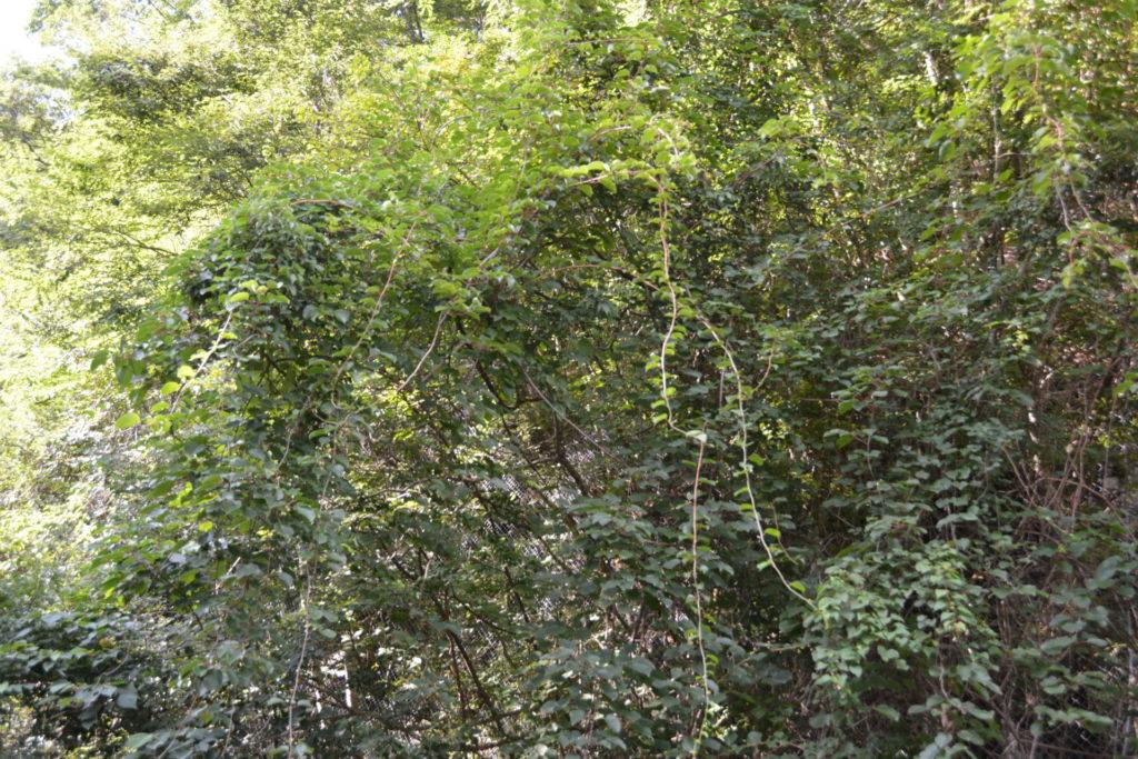 サルナシの樹