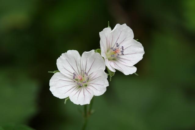 ゲンノショウコ(現の証拠)の白い花