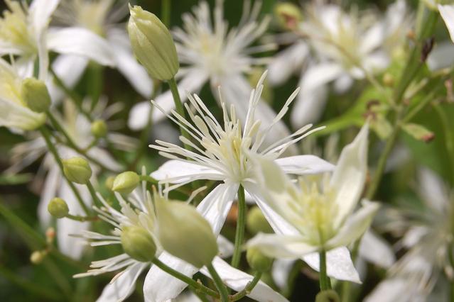 センニンソウ(仙人草)の花