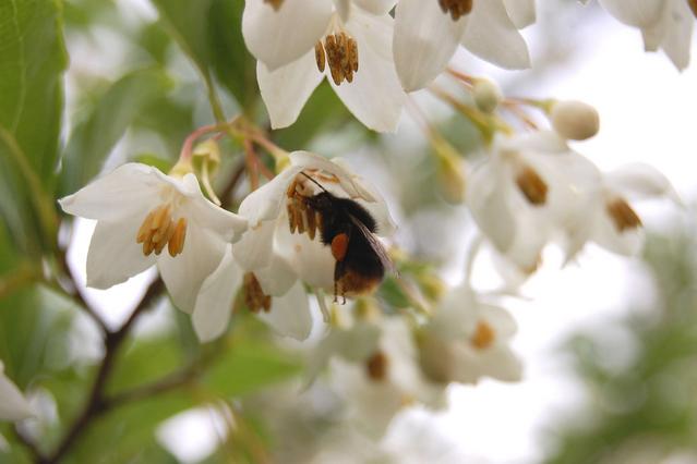 エゴノキの蜜を吸うマルハナバチ