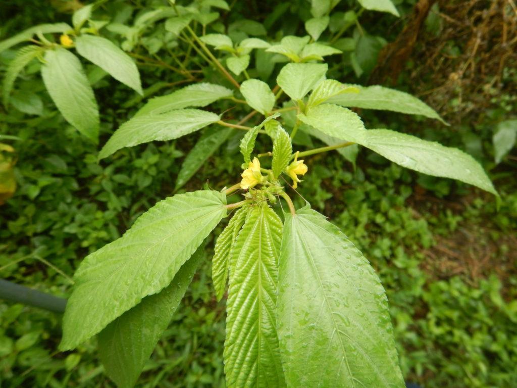 モロヘイヤの花と葉