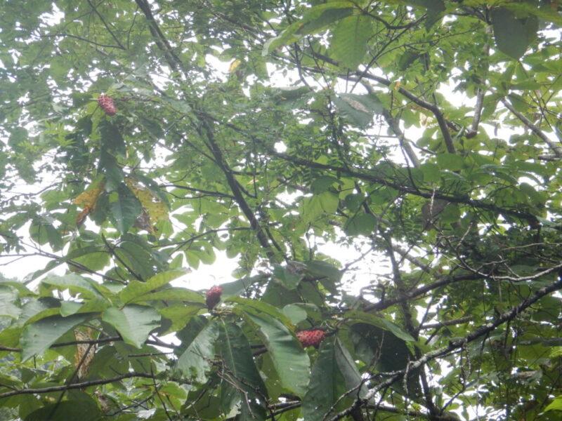 ホウノキ(朴ノ木)の赤い実