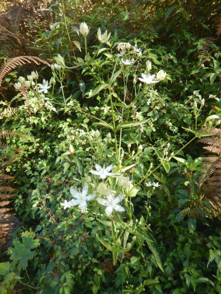 アケボノソウの葉と花