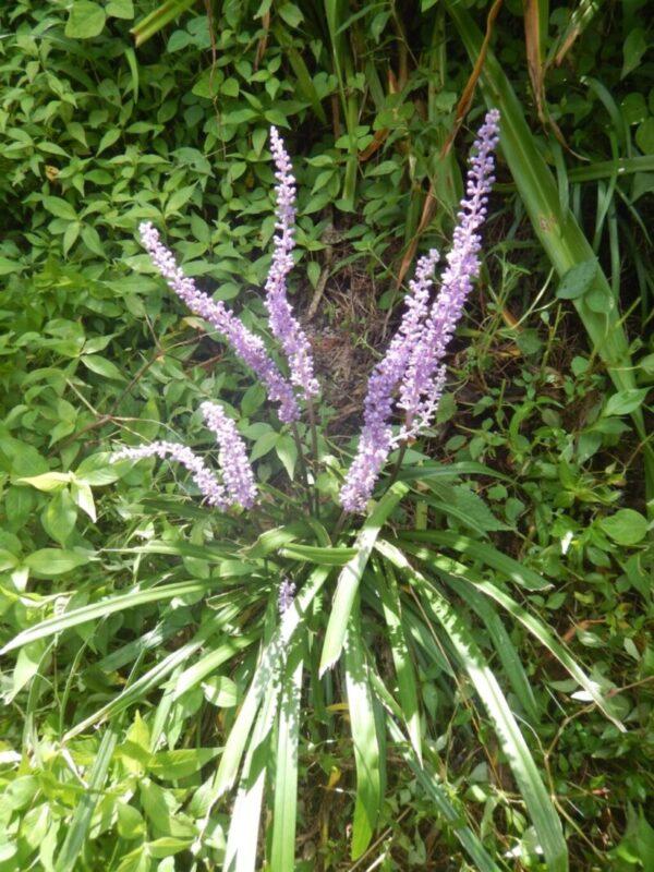 ヤブラン(藪蘭)の花