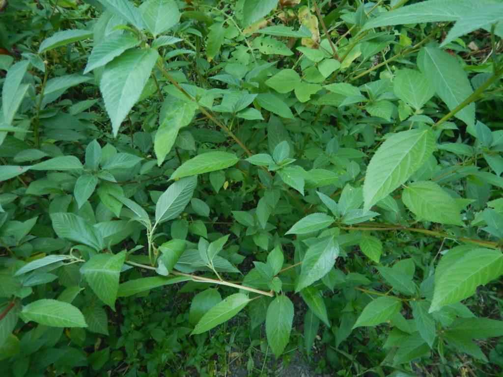 モロヘイヤの葉