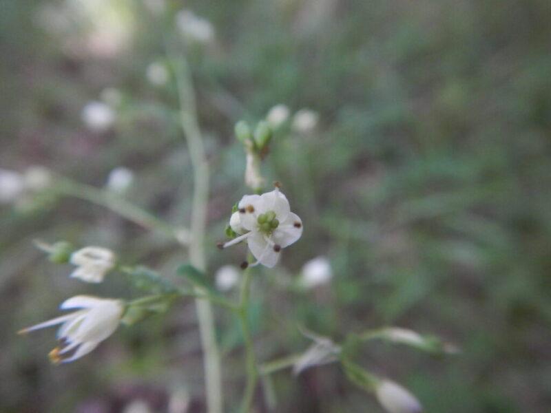 マツカゼソウ(松風草)の花