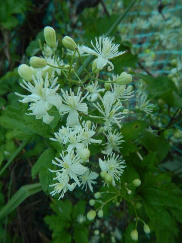 ボタンズル(牡丹蔓)の花