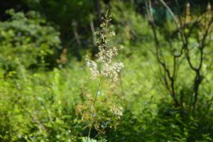 タケニグサの花(7月末)
