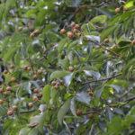 樹になったトチの実