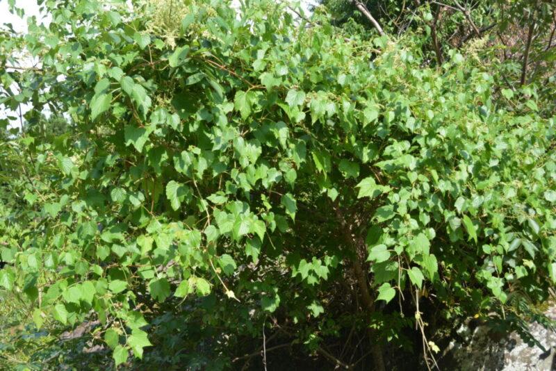 ノブドウの樹