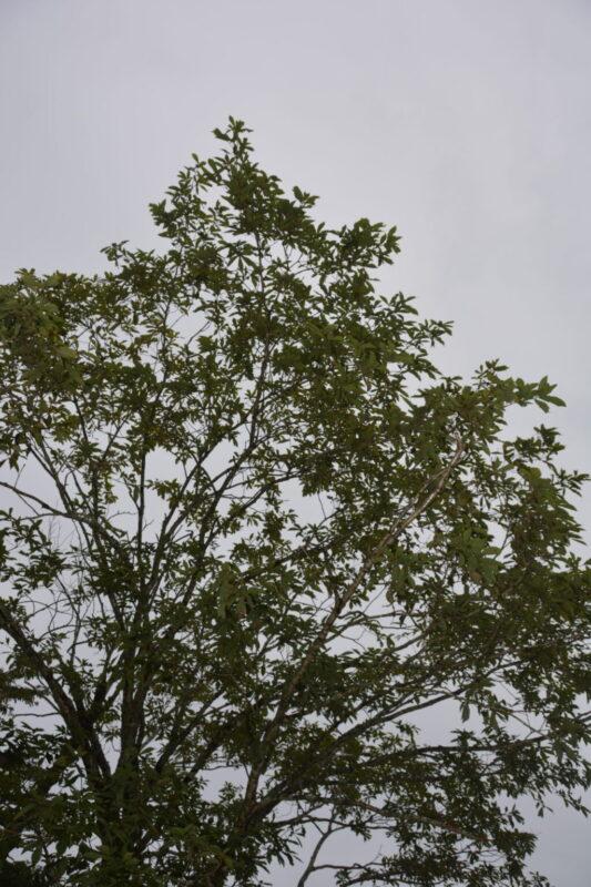 ミズナラ(水楢)の樹