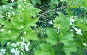 ボタンズル(牡丹蔓)の葉