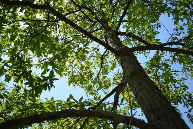 コナラ(小楢)の樹