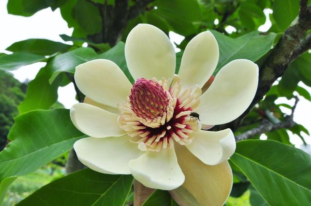 ホウノキ(朴ノ木)の花