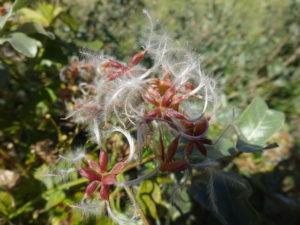 センニンソウ(仙人草)の綿毛
