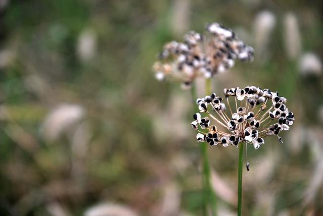ニラ(韮)の種