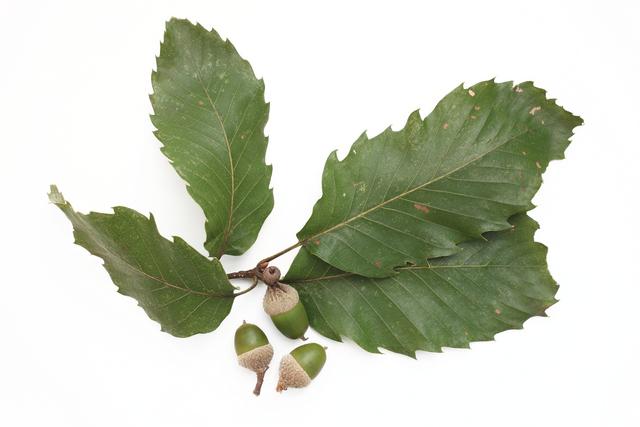 コナラ(小楢)のドングリと葉