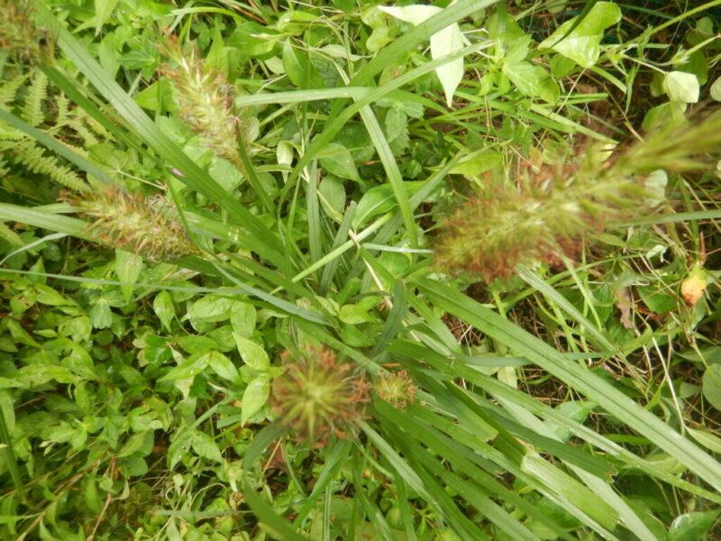 チカラシバの花穂