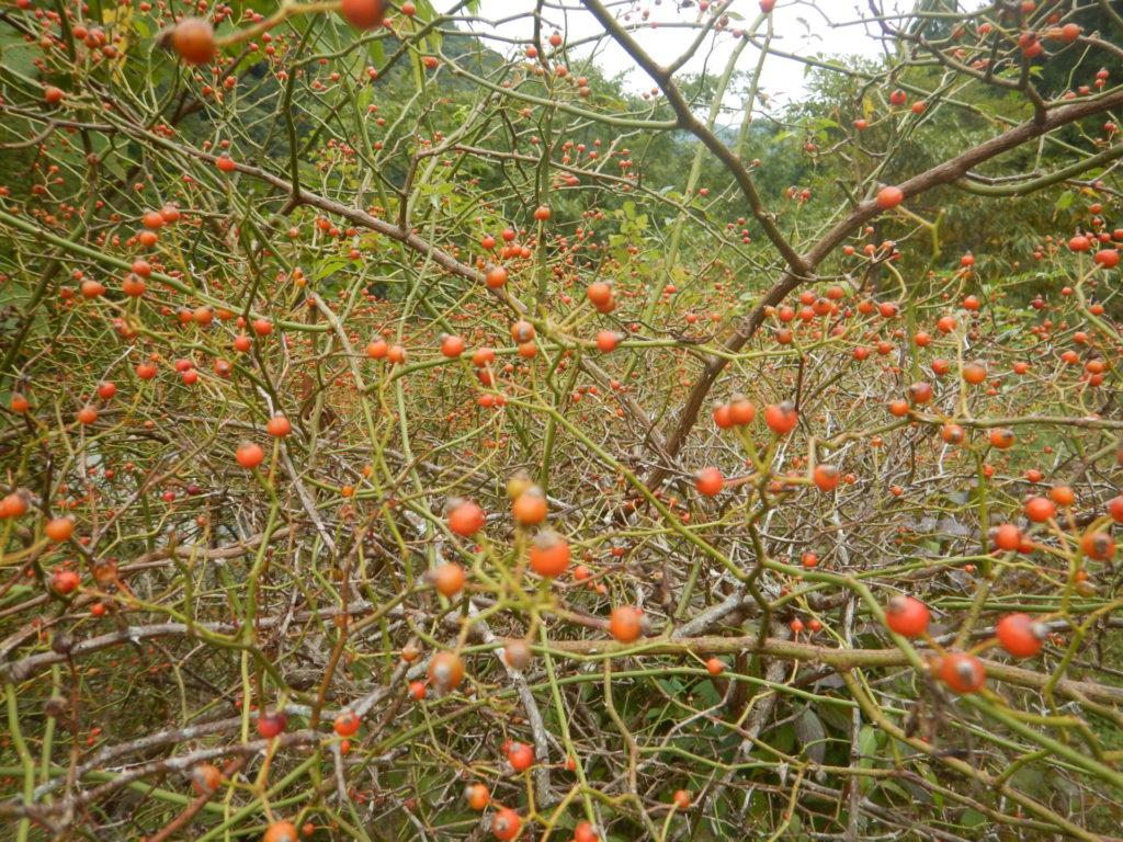 ノイバラの樹と実