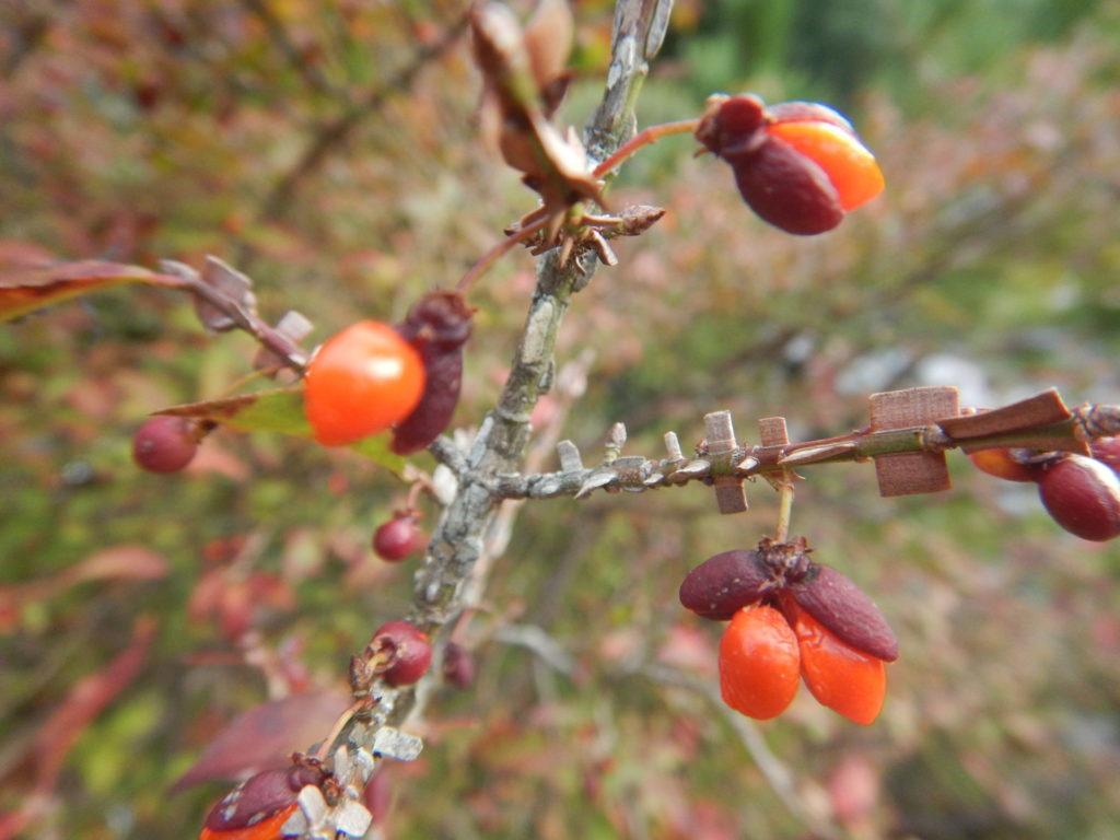 ニシキギの枝と実