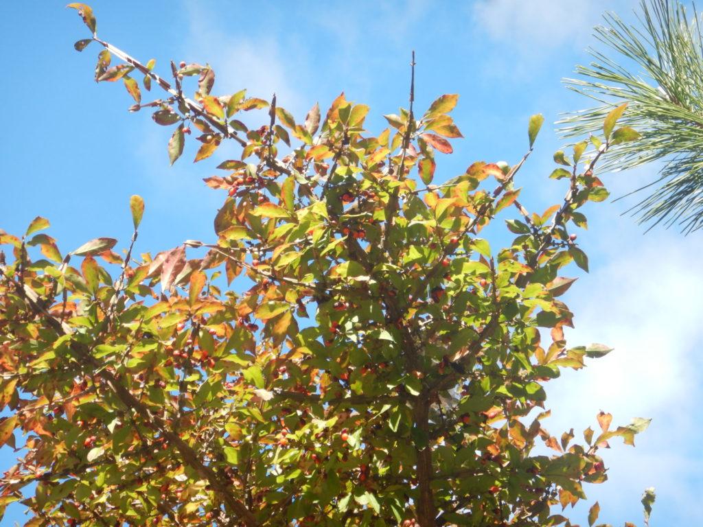 紅葉が始まったニシキギ