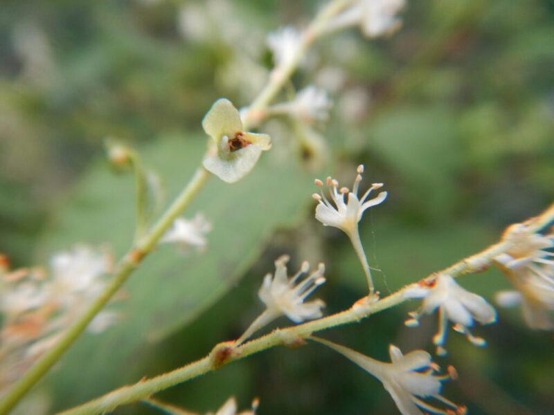 イタドリの花と種