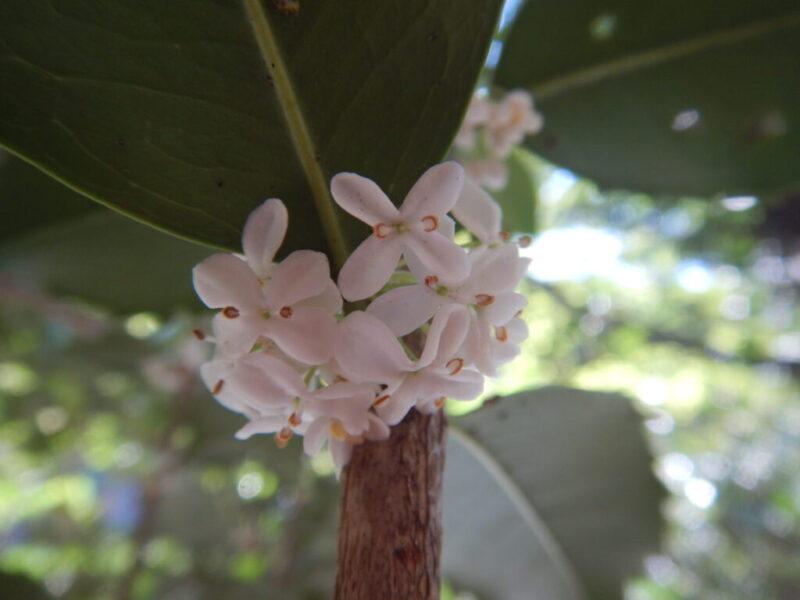 ヒイラギモクセイの花